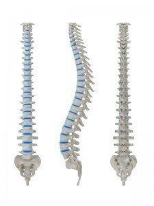 Anatomie der Wirbel, Nerv, Muskel, Physiotherapie und Rehabilitation, Rücken, Lendenbereich, lumbal, Kreuzbein, sakral, Neuropathie, Bandscheibenschaden, Bandscheibenvorfall, Protrusion, Bulging, Wirbelsäule, Bandscheibe, Nervenwurzel, Faserknorpelring, Anulus fibrosus, Gallertkern, Nucleus pulposus, Gelenkfortsätze, Lordose, Kyphose, Buckel, Wirbelloch, Rückenmark, Dornfortsatz, Abschnitt