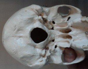 Großes Hinterhauptloch, Foramen occipitale magnum, Anatomie des Schädels von unten, Hinterhauptbein, Occiput, Os occipitale, Unterkiefer, Warzenfortsatz, Processus mastoideus, Schädel, Keilbein, Os sphenoidale