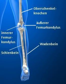 Anatomie Kniegelenk, Kreuzbänder, Kollateralbänder, Seitenbänder, Menisken, Knochen und Sehnen, Kniescheiben, Gelenkknorren, Kondylen, Quadrizeps, Oberschenkelknochen, Femur, Schienbein, Tibia, Schienbeinplateau
