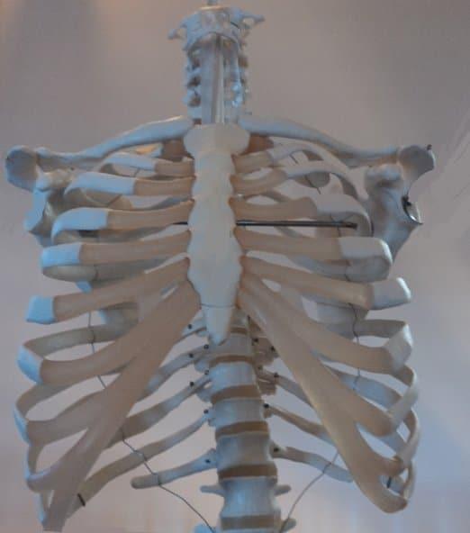 Brustkorb,Schlüsselbeine,Rückenwirbel,Thorax,Rücken, Schlüsselbein,Schulterblatt,Anatomie,Physiotherapie und Rehabilitation,Rippenknorpel,Gelenke,Knochen,Muskeln,Nerven